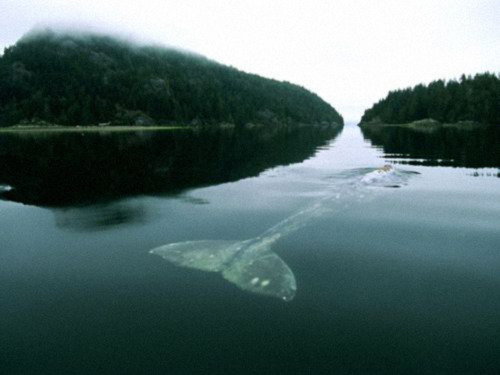 The LONELIEST WHALE IN THE WORLD.