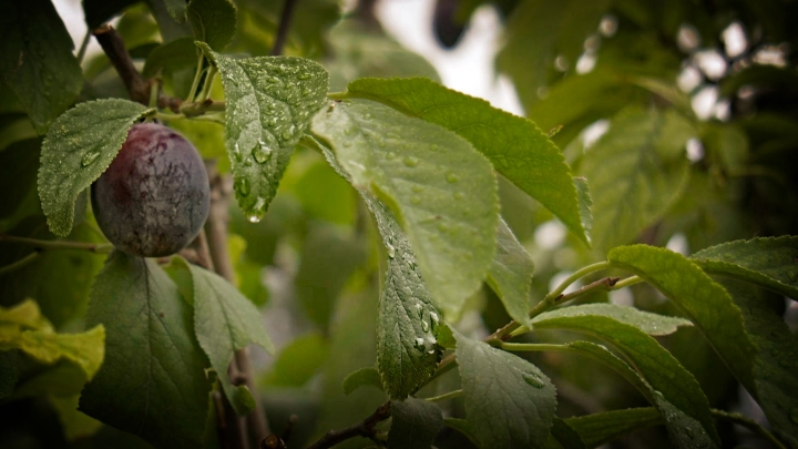 plums and raindrops