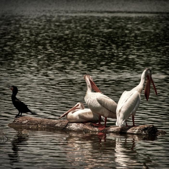 three pelicans and a cormorant