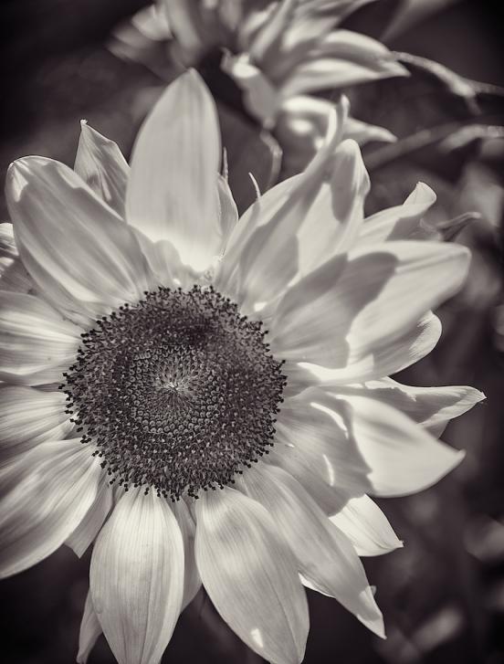 brendakofford_sunflower
