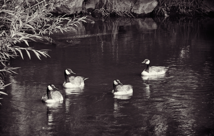 candian geese