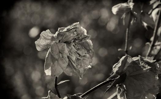 winter's rose