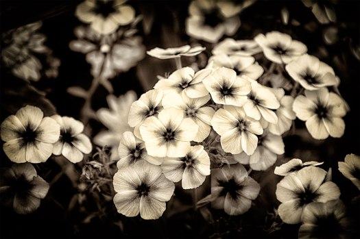 100dayscsuflowers