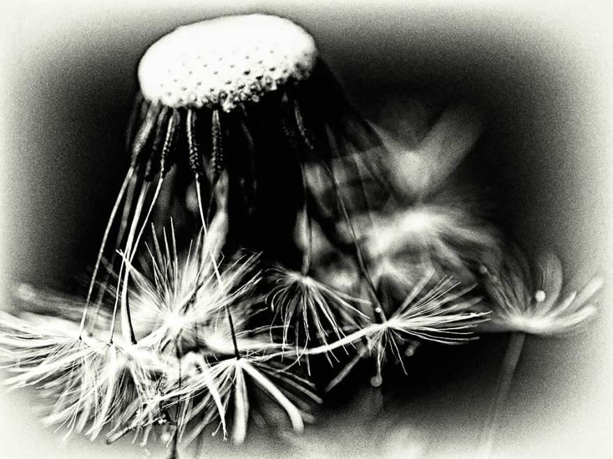 dandelionprojectblackandwhitesunday