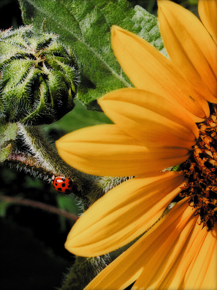 sunflowerladybug2