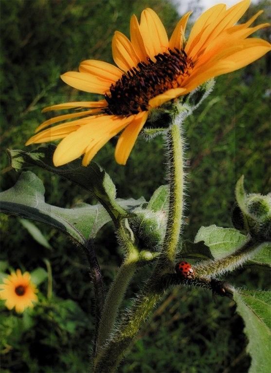 sunflowerladybugsmall