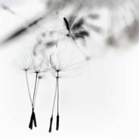 dandelionproject729bweb