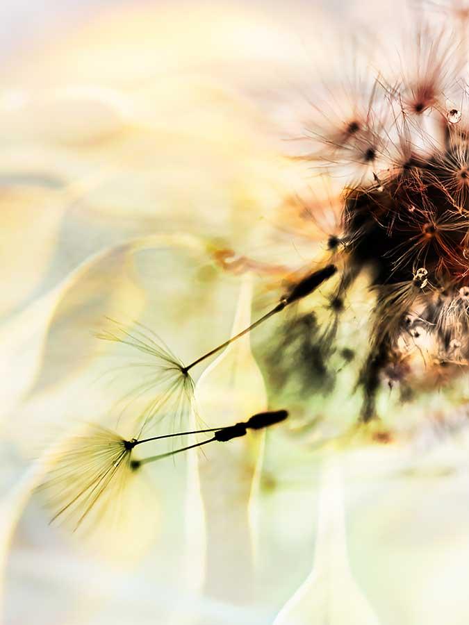 dandelionproject811cweb