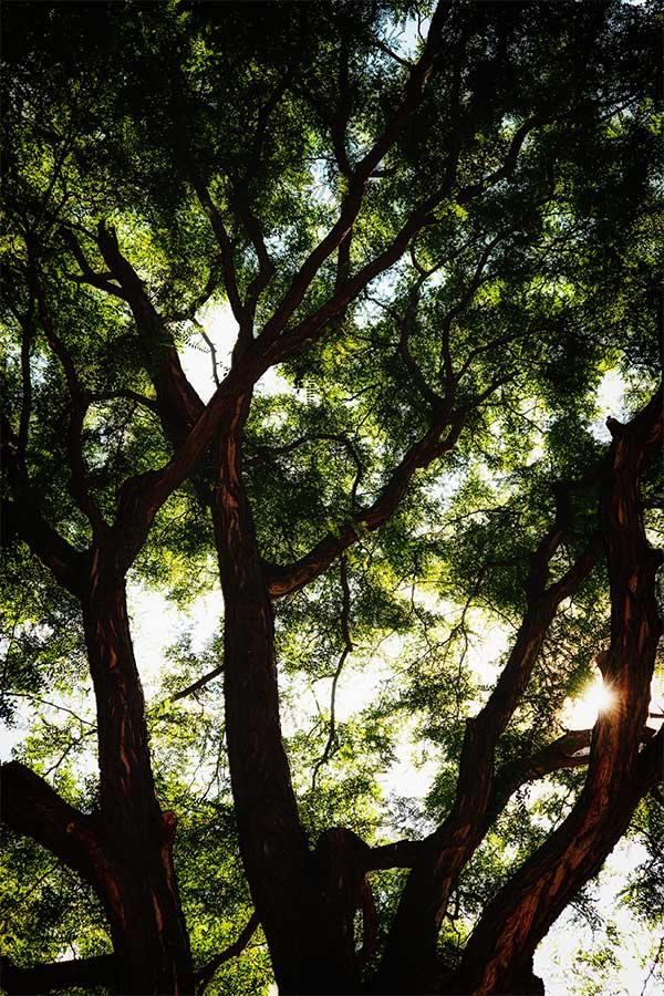 sunburstintree83017web