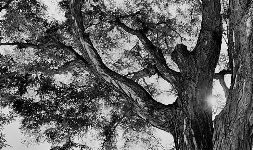 sunbursttree2web