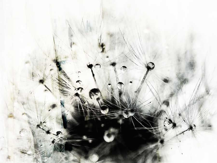 dandelionproject_tearsbnwweb