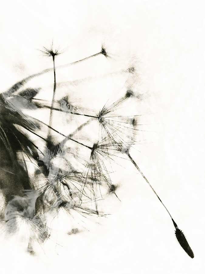 dandelionprojectwhitewash9417bweb