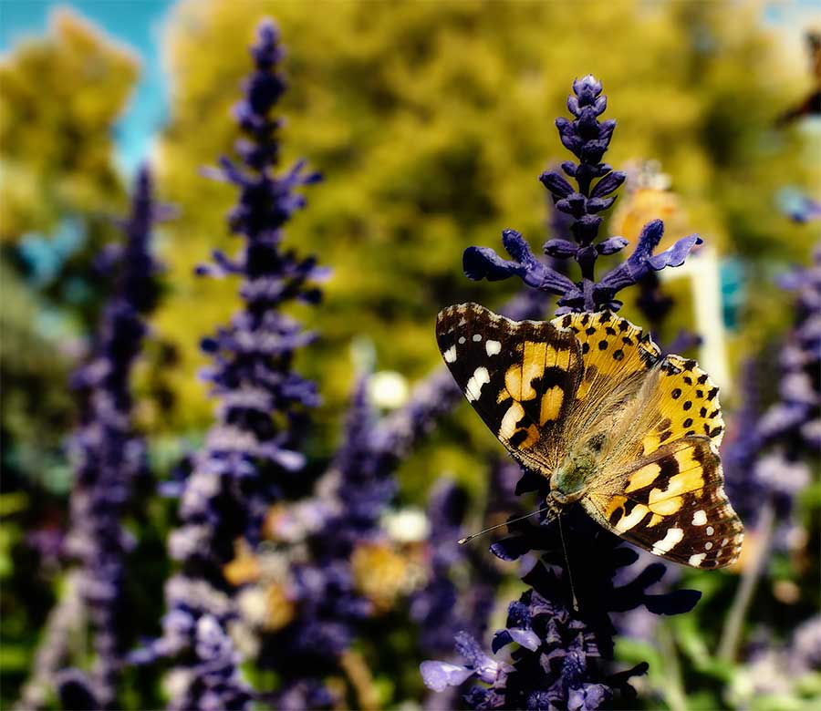 paintedlady2web