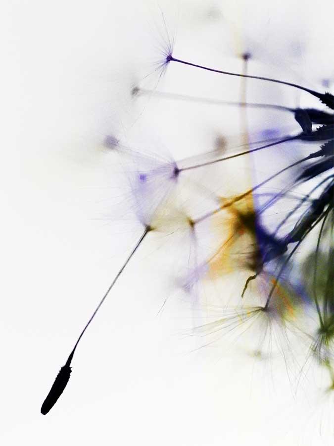 dandelionproject1128172web