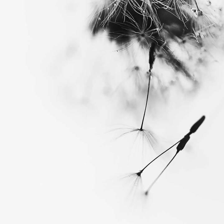 dandelionproject1918simplicity-1web