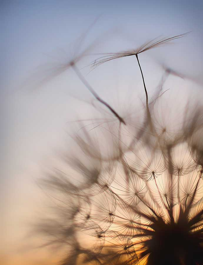 dandelionproject13118-3web