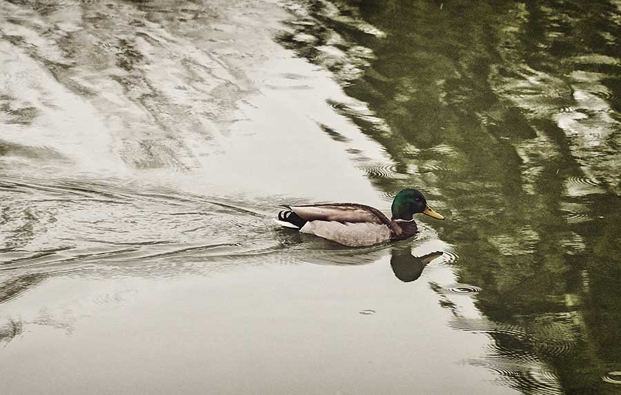 ducksweb