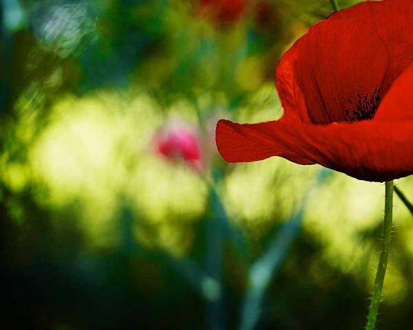 poppies-141818bweb