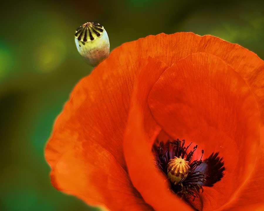 poppies-441818web