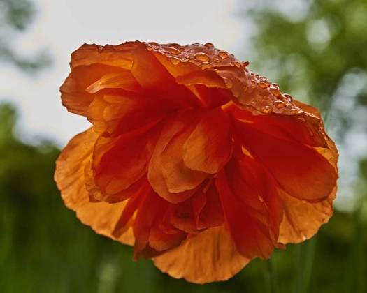 poppyweb